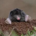 Help! Waarom zijn er molshopen in de tuin en in het gras?