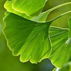 Japanse notenboom (Ginkgo biloba) is een bijzondere boom