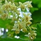 De vrouwelijke- en mannelijke bloemen van de hopplant