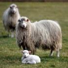 Klonen en het schaap Dolly