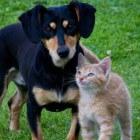 Hond versus kat