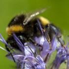 Insecten: hommels (Bombus)