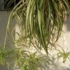 De Graslelie de makkelijke luchtzuiverende kamerplant