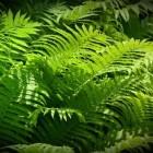 Varens, nog steeds groen maar eeuwenoud!