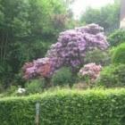 De rododendron is een plant met fantastisch mooie bloemen