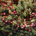 De grote veenbes (cranberry) geoogst en de kleine veenbes
