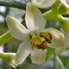 De olijfboom in Nederland bloeit met roomwitte bloemen