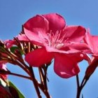 De oleander is een mediterrane bloeier in Nederland