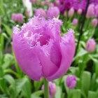 Tulpen, de lentebloemen bij uitstek