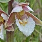 Wilde orchideeën in natuurgebieden, duinen en bermen