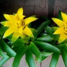 Bromelia: een gemakkelijke, vrolijke, kleurige kamerplant