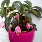 Medinilla: een zeer decoratieve plant in de huiskamer