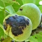 De walnotenboom en voorkomende ziekten