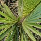 De Trachycarpus Fortunei