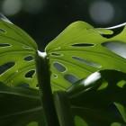 De gatenplant (Monstera Deliciosa): stekken en verzorgen