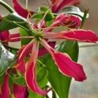 De Gloriosa als kamerplant of als snijbloem