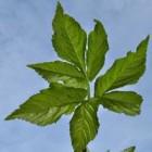 Zevenblad of tuinmansverdriet