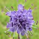 De blauwe knoop is een plant met een bloemhoofd
