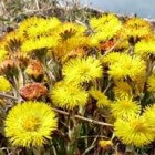 Klein hoefblad, een vroege voorjaarsbloeier