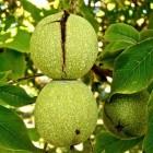Waarom onder walnotenbomen maar weinig groeit