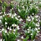 Het lenteklokje als voorbode van de lente