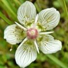 De prachtige bloem parnassia met de witte ster