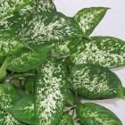 Grote kamerplanten: de Dieffenbachia