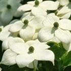 Japanse kornoelje: witte bloemen en aarbei-achtige vruchten