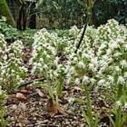 Het wit hoefblad is een plant uit de composietenfamilie
