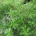 Asparagus of sierasperge, een dankbare kamerplant