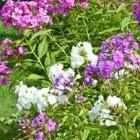 Floxen of vlambloemen in de tuin geven kleur en geur