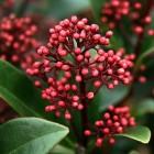 Winterharde balkonplanten: Skimmia japonica