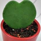 De hartjesplant (Valentine Hoya of Hoya kerrii)