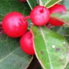 Winterharde balkonplanten: Gaultheria procumbens of Bergthee