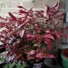 Winterharde balkonplanten: Leucothoe zeblid 'Scarletta'