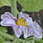 Aubergine als plant in Nederland