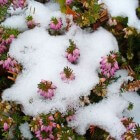 Winterharde balkonplanten: Erica carnea of winterheide