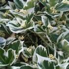 Winterharde balkonplanten: kardinaalsmuts