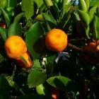 Mediterrane balkonplanten: sinaasappelboompje (Citrus mitis)