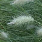 Pennisetum/lampenpoetsersgras in de tuin