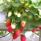 Fruitplanten op het balkon: lekkere zelfgekweekte aardbeien!