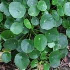 Pannenkoekenplant (Pilea peperomioides) populaire kamerplant