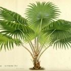 Kamerplant Livistona rotundifolia, een echte blikvanger!