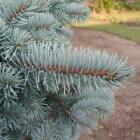 Blauwspar (Picea pungens)