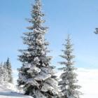 De fijnspar (Picea Abies)