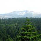 De Nordmann spar: kerstboom en hoogste boom van Europa