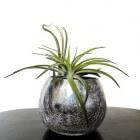 Bijzondere kamerplanten: Tillandsia of luchtplant