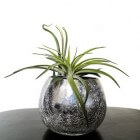 Trendy kamerplanten: Tillandsia of luchtplant