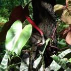 Philodendron Erubescens; de klimplant met de rode stengels
