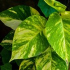 Goudrank (Epipremnum Aureum): de gevlekte kamerplant